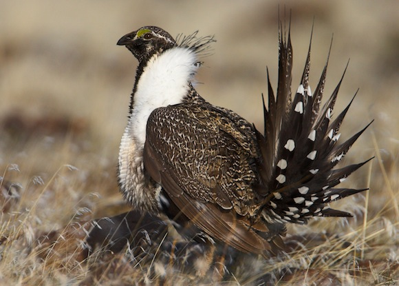 Greater-Sage-Grouse