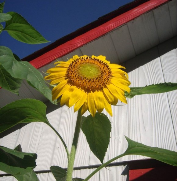 Large yellow sunflower with wide round green center.