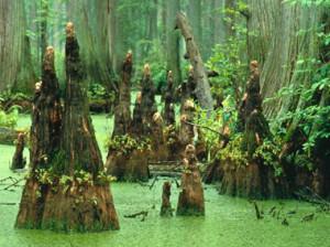 bald-cypress-swamp-usfw-380