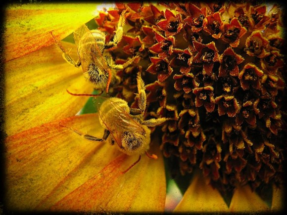 2 yellow bees on center of sunflower showing disc flowers.