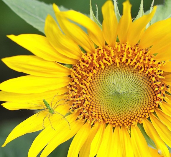 Sunflower with