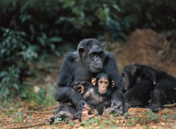 chimp-family