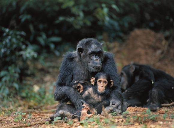 chimp-family