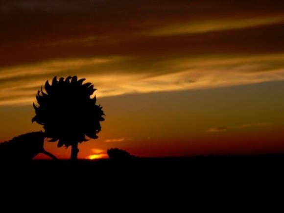 Silhouette of large sunflower against a twilight sky.