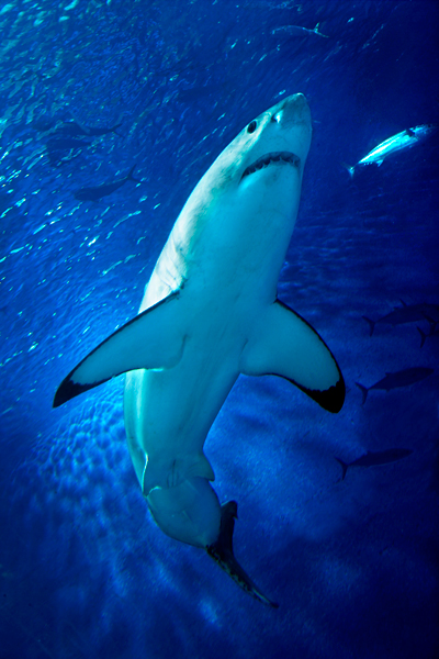 A juvenile great white shark at the Monterey Bay Aquarium. Credit: Randy Wilder and Stanford University.