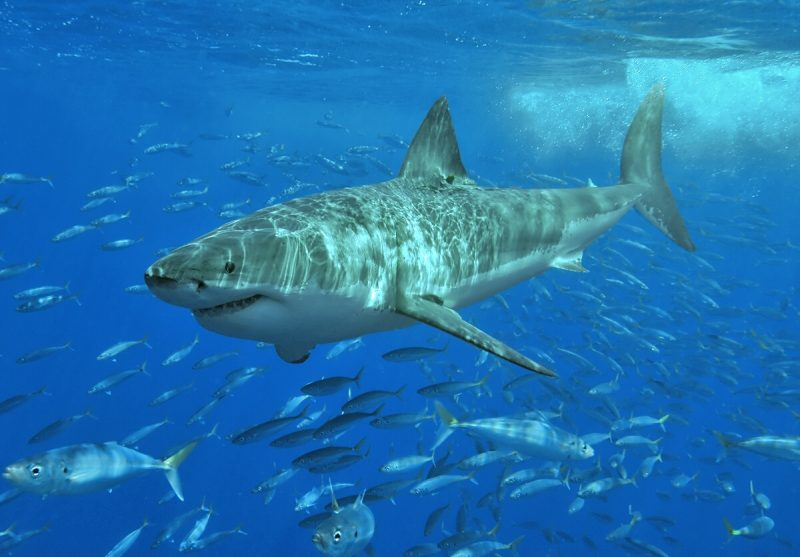 Undersea photo of large shark in blue water with more sharks in background.