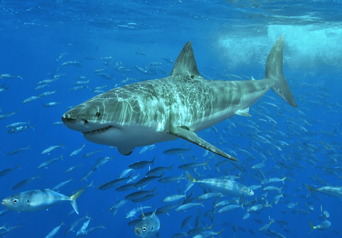 Great white shark, Isla Guadalupe, Mexico. Image via Terry Goss and Wikimedia Commons.