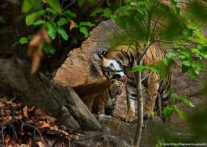 mother-cub-tiger