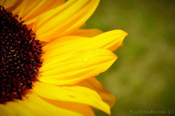 Closeup of part of a bright yellow flower with wide dark center.