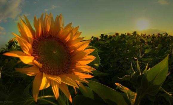 Orange-ish sunflower in bright sun.
