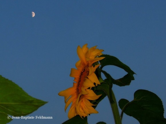 Closeup of sunflower from the side against blue sky with small white half moon.