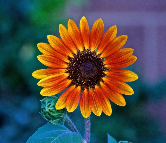 Small red sunflower with yellow-tipped petals and bright black center.