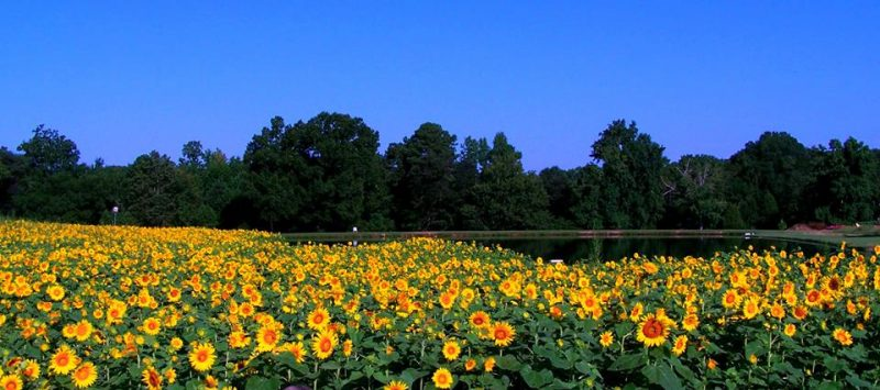 Field of red-centered sunflowers under a bright blue sky.
