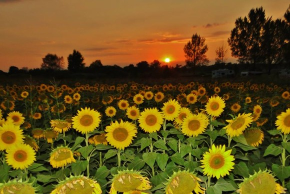 Array of plate-like yellow sunflowers with brown centers against a sunset.