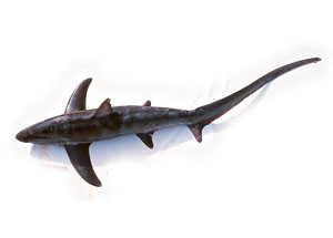 thresher-shark-300