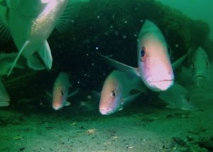 An ancient underwater forest in the Gulf of Mexico Underwater-forest-ben-raines-1-300x214