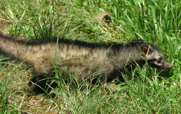 Asian Palm Civet. Image credit: Praveenp, via Wikimedia Commons.
