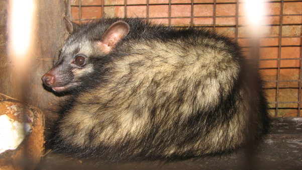 Asian palm civet in a cage. Image credit: Praveenp, via Wikimedia Commons.