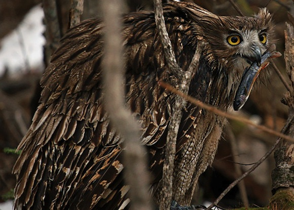 Blackiston-fish-owl