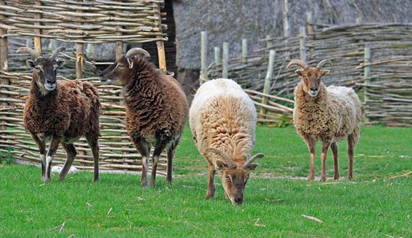 Lady Soay sheep can have normal horns (pictured), scurs, or no horns. Image: Simon Barnes.