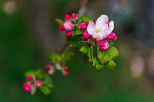 Apple blossoms. Image: Tambako The Jaguar