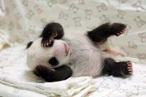 Baby Yuan Zai at Taipei Zoo on August 8, 2013