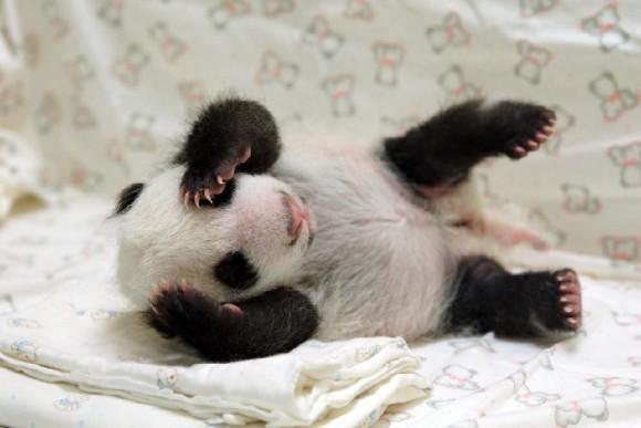 Photo taken on Aug. 8, 2013 shows a giant panda cub nicknamed