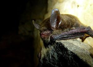bat-whitenosesyndrome-nps-300