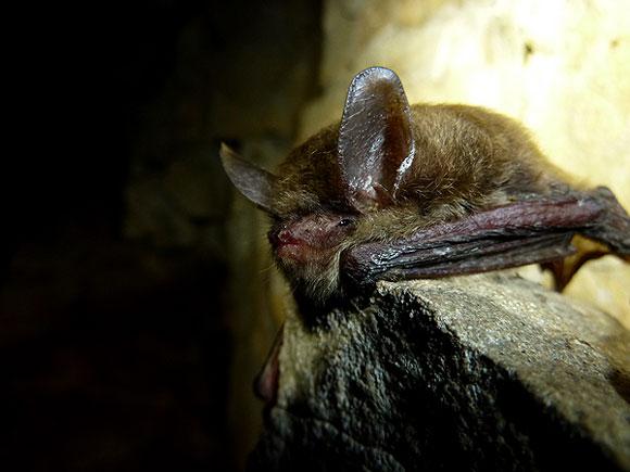 bat-whitenosesyndrome-nps-580