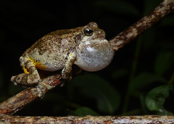 Female frogs prefer males who can multitask