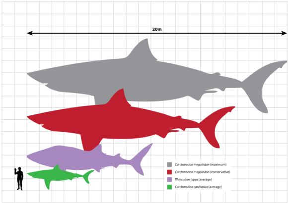 Megalodon with the whale shark (purple, 9.7m), great white shark (green, 5.2 m), and a human for scale (Great White Shark, 5.2m), Rhincodon typus (Whale Shark, 9.7m) and conservative/maximum estimates of the largest known adult size of Carcharodon megalodon (16-20m), with a human Homo sapiens (1.8m).