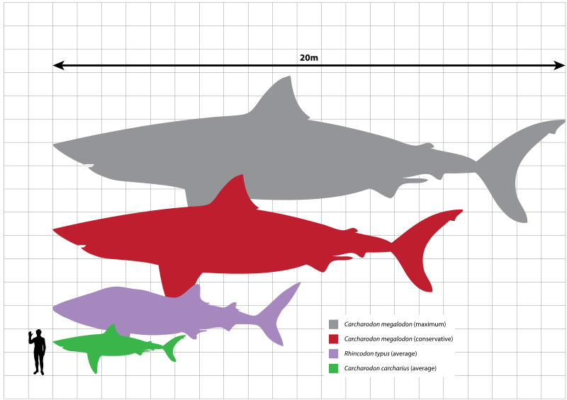 of extinct giant shark megalodon (grey and red) with the whale shark