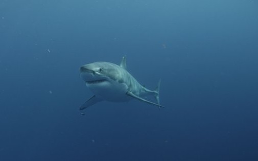 Great white shark. Image credit: Andrew Brandy Casagrande/Discovery Channel