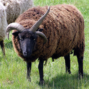 Probably NOT a Soay sheep. Just an illustration that there are worse fates in life than small horns. Image: Jim Champion.