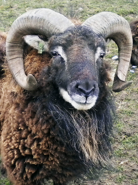 I'm about 60% sure that this is a Soay sheep. Maybe 70%. Anyway, normal male horns look like this. Image: Stephen Jones.
