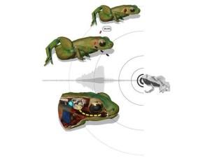 Gardiners-Frog-scheme