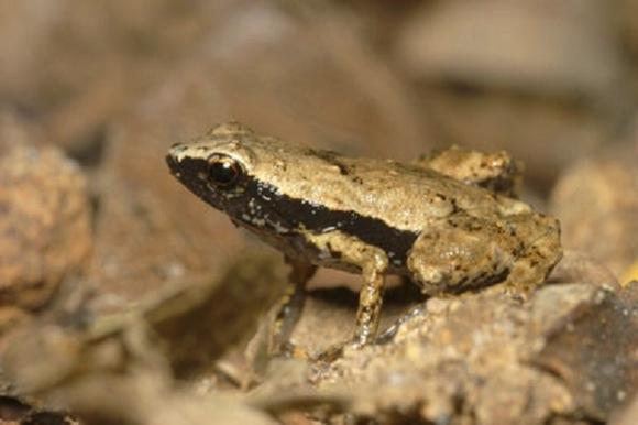 Gardiners-frog