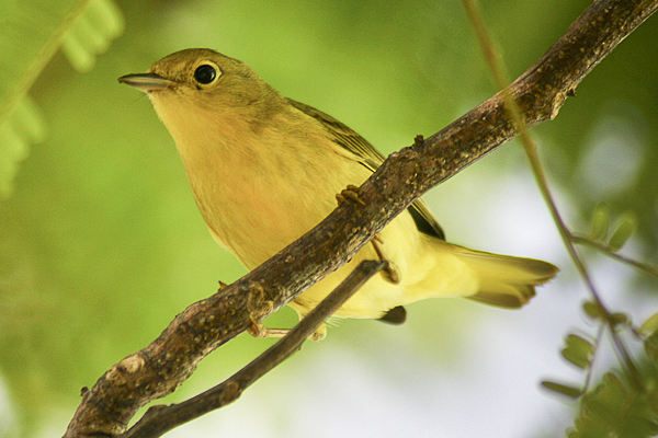 The yellow warbler can be found in Costa Rica plantations eating the coffee borer beetle.