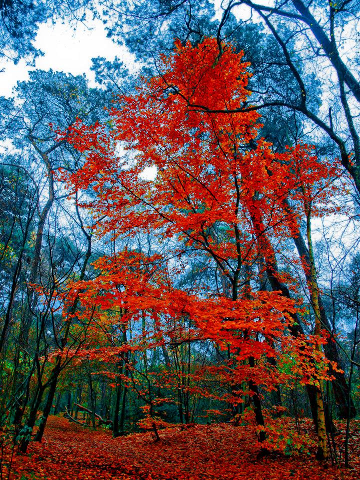 A brilliant red tree against bare trees. Ground covered with red leaves.