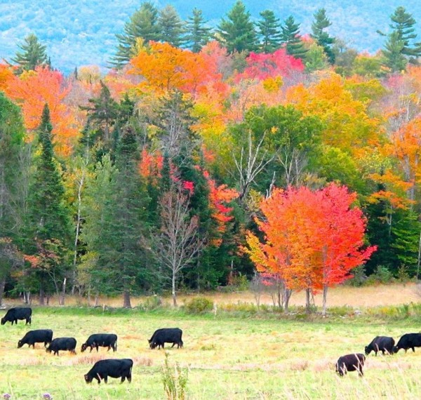 Red tree and Black Angus in Sugar Hill, NH on September 23, 2013 by Mickey de Rham.  Thank you, Mickey!