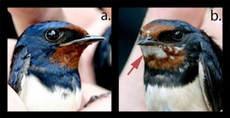 Barn swallows, one normal and the other with albinism on its throat feathers, from the Chernobyl Exclusion Zone. Image credit: A.P. Møller, et al.