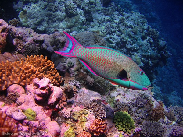 A Bicolour Parrotfish, similar to fish observed in this study, seen at Osprey Reef, Australia. Image credit: Richard Ling (via Flickr.com)