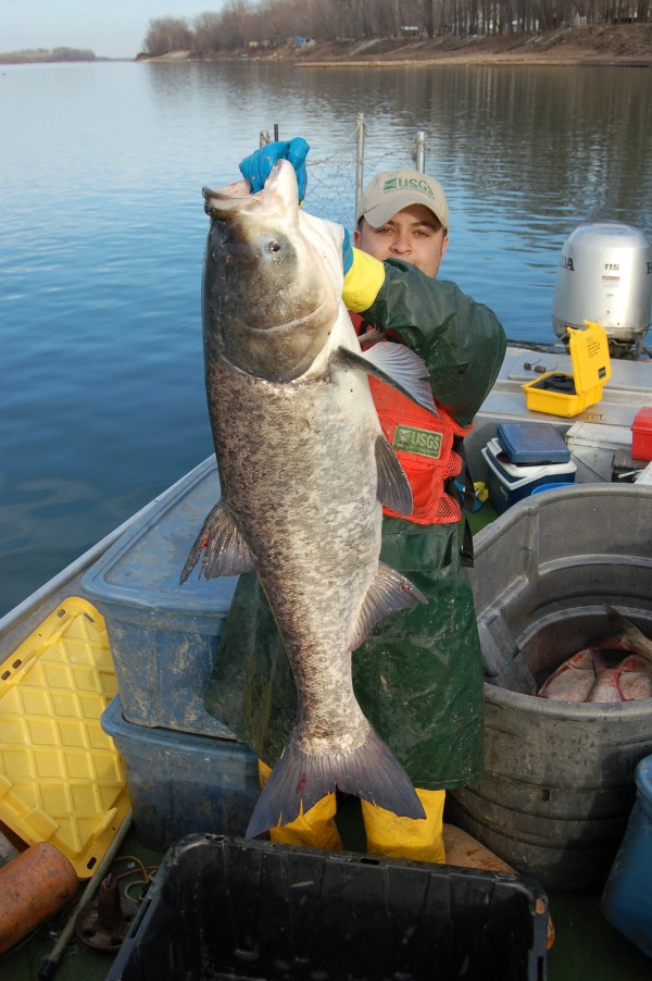 Bighead carp. Image credit: Department of Fisheries and Allied Aquacultures, Auburn University.