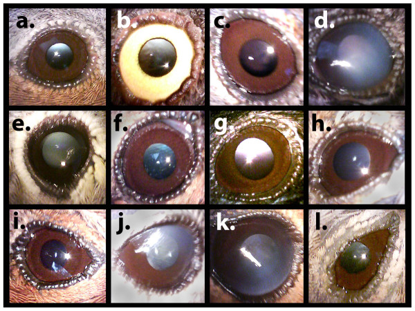 Varying degrees of cataracts in birds from the Chernobyl Exclusion Zone, except for images a and b that show no cataracts, and image i that shows the clear eye of a chaffinch but with deformed eyelids. Image credit: T. A. Mousseau, et al.