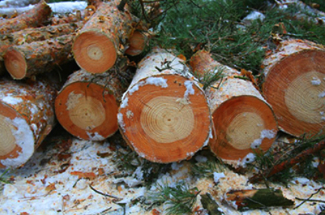 In these pine logs, the innermost darker rings mark the year of the Chernobyl nuclear power plant disaster, in 1986. Image credit: T. A. Mousseau, et al.