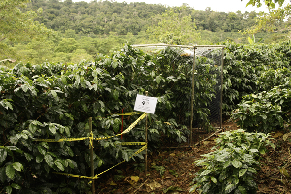 To quantify the benefit birds brought to coffee plantations, Karp and his colleagues calculated the difference in yield between infested plants housed in bird-proof cages and infested plants open to beetle-eating birds. Image credit: Daniel Karp, et al.