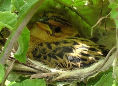 A cuckoo finch chick. Image Credit: Claire Spottiswoode.