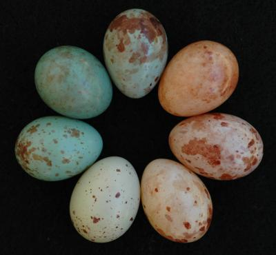 These are all cuckoo finch eggs, collected at a study site in Zambia. Each female cuckoo finch lays eggs that resemble one single host species. These eggs come from the nests of three different host species. Image Credit: Claire Spottiswoode.