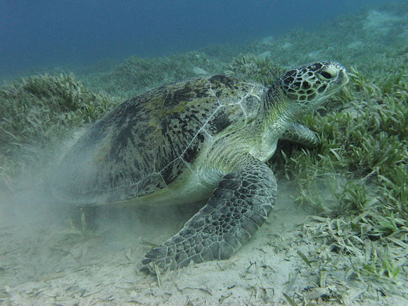 green-seaturtle-adult-580