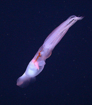 n this photograph, a Grimalditeuthis bonplandi squid has coiled its tentacles and club inside of its arms, and is swimming away from the camera. Image: © 2005 MBARI